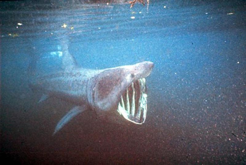 Восьмиметровую «акулу-монстра» выкинуло на скалы побережья Корниш Корниш, акула