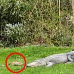 луговая собачка, аллигатор, видео