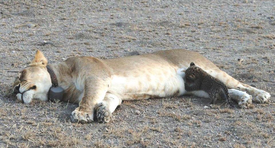 Львица усыновила детеныша леопарда. Фото №1