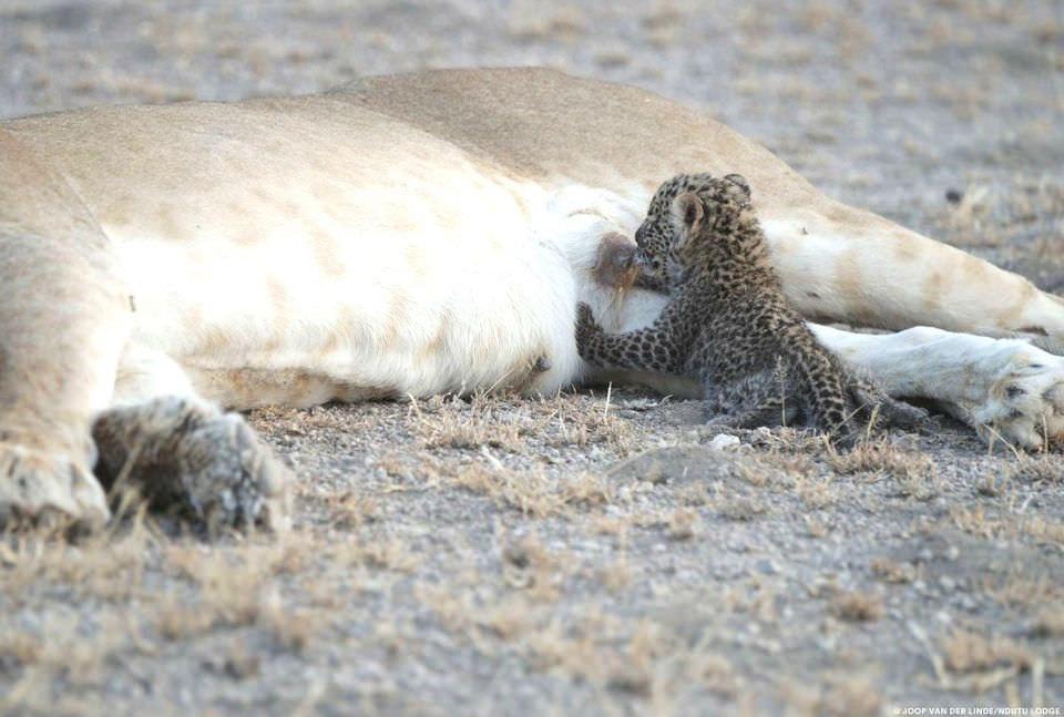 Львица усыновила детеныша леопарда. Фото №2