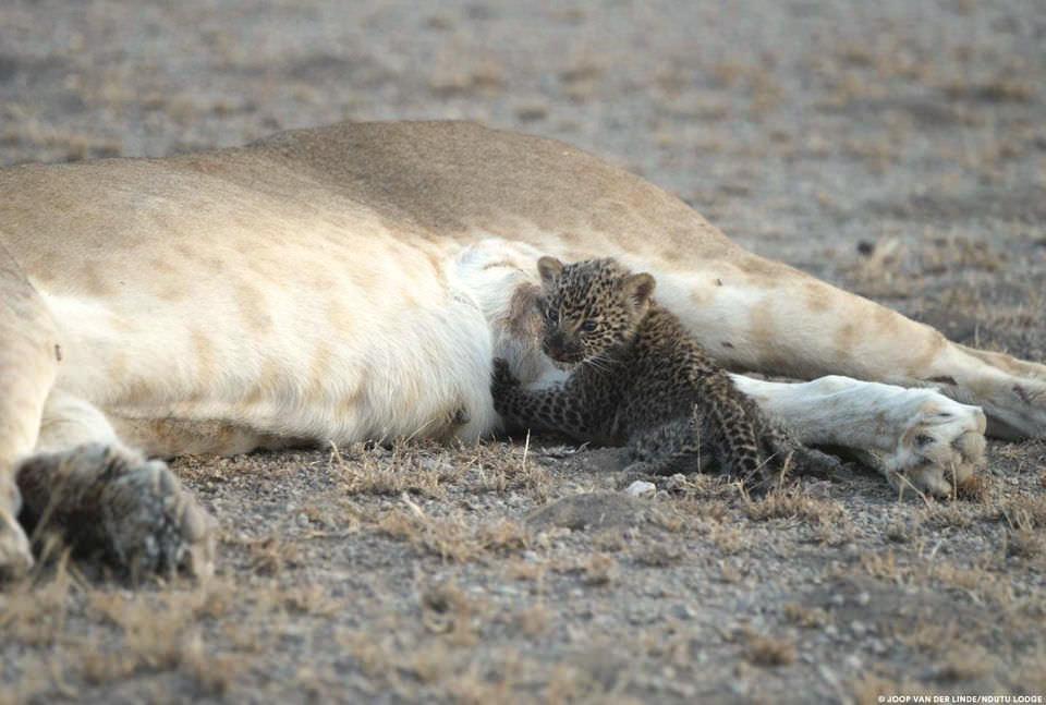 Львица усыновила детеныша леопарда. Фото №3