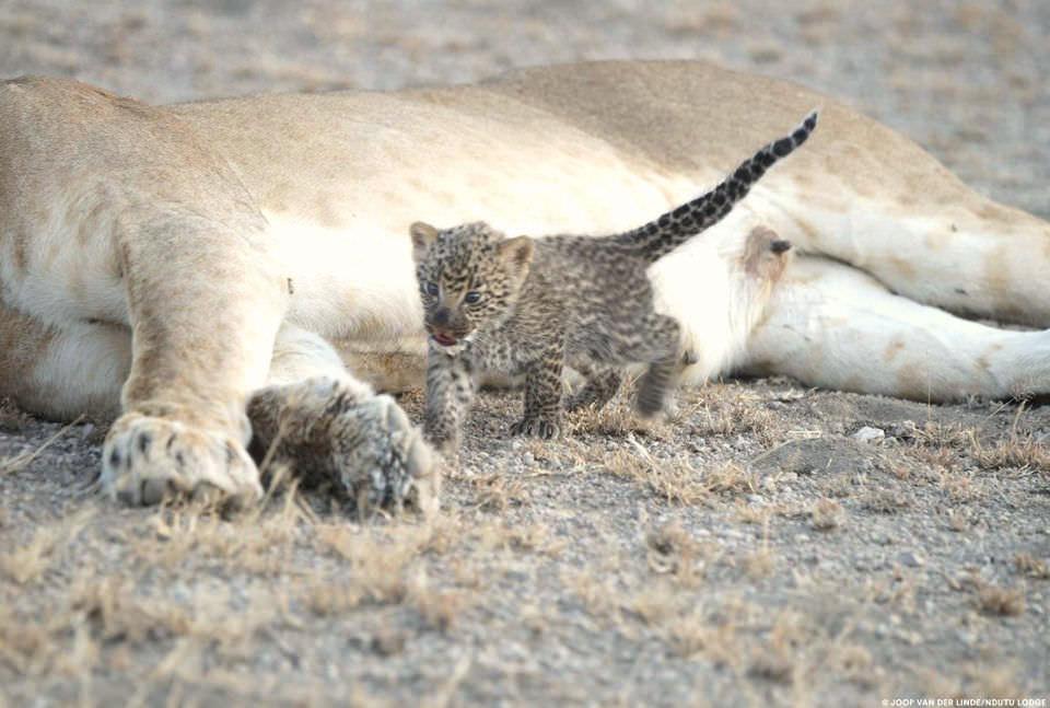 Львица усыновила детеныша леопарда. Фото №4