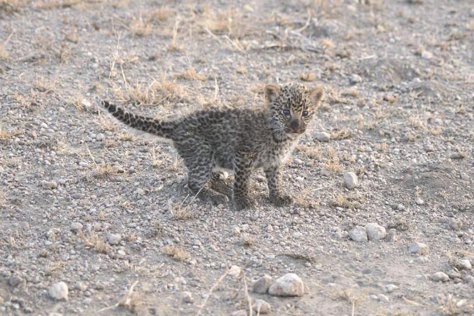 Львица усыновила детеныша леопарда. Фото №5
