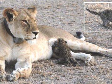 львица, леопард, детеныш,