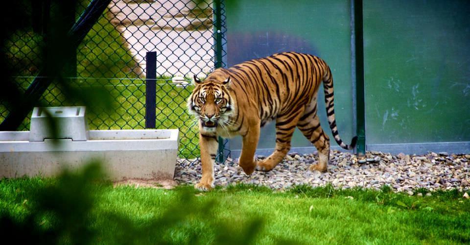 Швейцарские зоопарки начали кормить хищников домашними животными